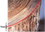 外皮と木質部の間僅か7mmの内部樹皮だけが原料となります。